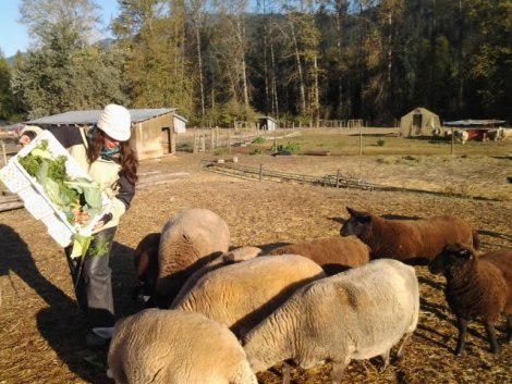 Alimentando a las ovejas, North Arm Farm