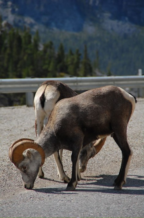 mountain_sheep