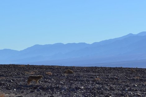 death_valley_coyote