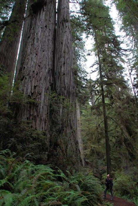 redwoods_caro