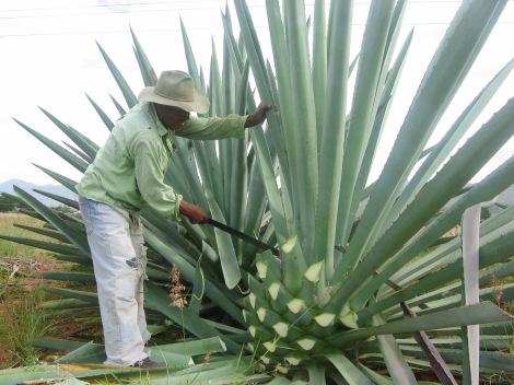 Cortando las hojas al agave (Foto: culturacolectiva.com)