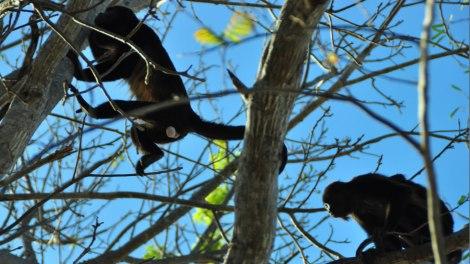 Monos aulladores en nuestra cabeza