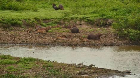 Capibaras y cocodrilos conviven en Hato El Cedral