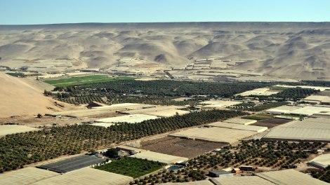 Vista de los olivos del Valle de Azapa